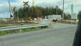 石井町辺りを走り回る鹿
